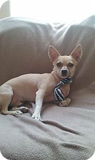 Chihuahua Mix Dog for adoption in Mesa, Arizona - BOW