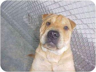 Shar Pei Mix Dog for adoption in Burnsville, North Carolina - Sir Charley