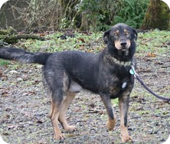 German Shepherd Dog/Labrador Retriever Mix Dog for adoption in Federal Way, Washington - Jack - Tenino