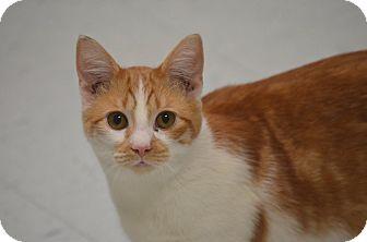 Domestic Shorthair Cat for adoption in Morgantown, West Virginia - Sampson