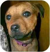 German Shepherd Dog/Rottweiler Mix Puppy for adoption in dewey, Arizona - Angie