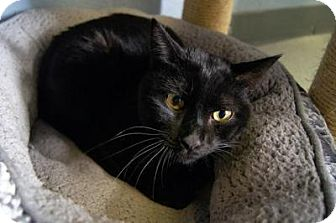 Domestic Shorthair Cat for adoption in New Milford, Connecticut - Ezra