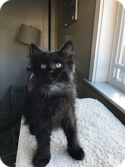 Domestic Longhair Kitten for adoption in San Jose, California - Opal