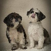 Shih Tzu Dog for adoption in Davie, Florida - Gianni Roy & Cher