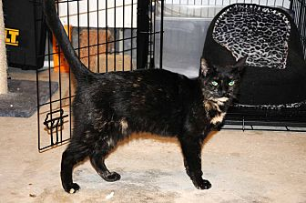 American Shorthair Cat for adoption in Marlton, New Jersey - Princessa