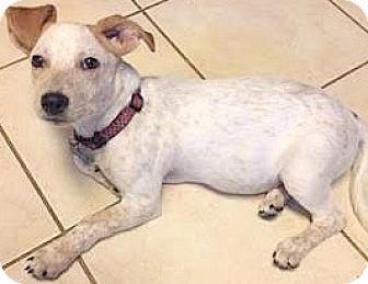 Golden Retriever/Labrador Retriever Mix Puppy for adoption in Boulder, Colorado - Jill-ADOPTION PENDING