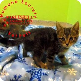 Domestic Shorthair Kitten for adoption in Janesville, Wisconsin - Gracie
