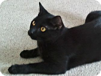 Domestic Shorthair Cat for adoption in Central Falls, Rhode Island - Simon