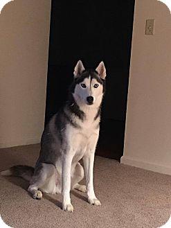 Husky Mix Dog for adoption in Xenia, Ohio - Glacier