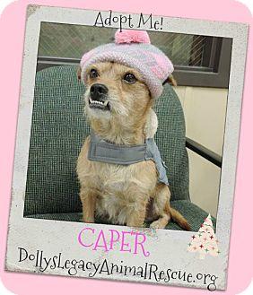 Norfolk Terrier Mix Dog for adoption in Lincoln, Nebraska - CAPER