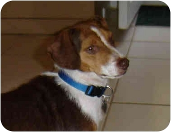 Beagle Mix Dog for adoption in Blairstown, New Jersey - Betsy