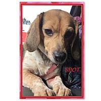 Adopt A Pet :: SPOT - Ventnor City, NJ