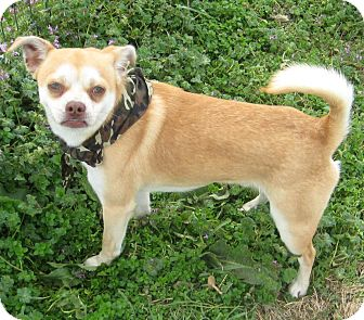 Pug/Chihuahua Mix Dog for adoption in Pilot Point, Texas - SCAMP