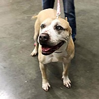 Pit Bull Terrier Mix Dog for adoption in Wichita Falls, Texas - Penny