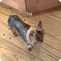 Yorkie, Yorkshire Terrier Dog for adoption in Tenafly, New Jersey - Abby