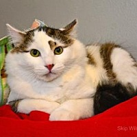 Domestic Mediumhair/Domestic Shorthair Mix Cat for adoption in Neenah, Wisconsin - Kenyon