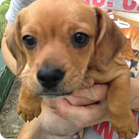 Adopt A Pet :: Minion - Cumberland, MD