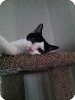 Domestic Shorthair Cat for adoption in Trenton, New Jersey - BOO  (lz)