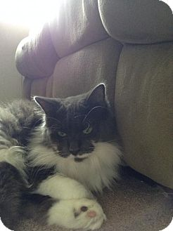 Domestic Longhair Cat for adoption in Oviedo, Florida - Gracie the De-Clawed Beauty