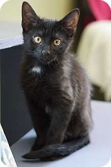 Domestic Mediumhair Kitten for adoption in Crested Butte, Colorado - Leo