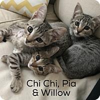Adopt A Pet :: Chi Chi - Los Angeles, CA