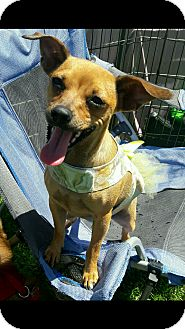 Chihuahua Mix Dog for adoption in Henderson, Nevada - Lola