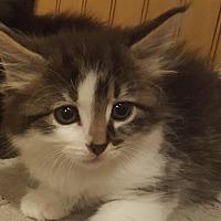 Adopt A Pet :: Kolt - Irwin, PA