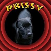 Adopt A Pet :: Prissy (Looney Toons) - Wyoming, MI
