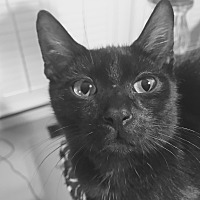 Adopt A Pet :: Felix - Homewood, AL