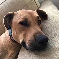 Adopt A Pet :: Rocky - Beverly Hills, CA