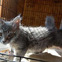 Adopt A Pet :: Meadow's Kitten Bubba - Brainardsville, NY