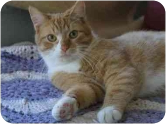 Domestic Shorthair Cat for adoption in Vails Gate, New York - Butch