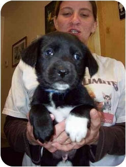 Cattle Dog/Dalmatian Mix Puppy for adoption in Kingston, New York - Carter