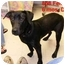 Photo 2 - Labrador Retriever/Hound (Unknown Type) Mix Puppy for adoption in Rochester, New Hampshire - Daila adopted