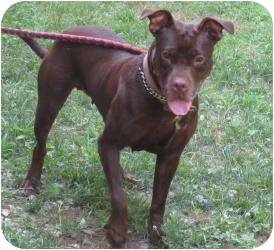 American Pit Bull Terrier/Labrador Retriever Mix Dog for adoption in Bloomfield, Connecticut - Diana