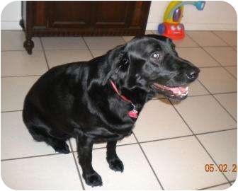 Labrador Retriever Dog for adoption in Altmonte Springs, Florida - Sam