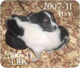 Cocker Spaniel/Australian Shepherd Mix Puppy for adoption in Blackstone, Virginia - Itsy ADOPTION PENDING