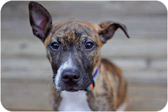 American Pit Bull Terrier Mix Puppy for adoption in Reisterstown, Maryland - Brandy
