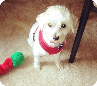 Poodle (Miniature)/Maltese Mix Dog for adoption in Houston, Texas - Sampson