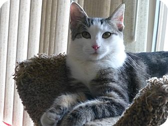 Domestic Shorthair Cat for adoption in Quail Valley, California - Leah