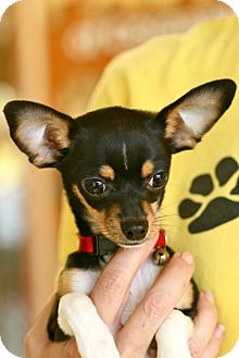 Chihuahua Mix Puppy for adoption in Coronado, California - Bruiser