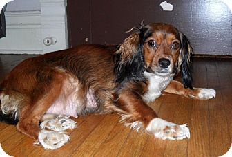 Cavalier King Charles Spaniel/Silky Terrier Mix Dog for adoption in Wytheville, Virginia - Lady Bug