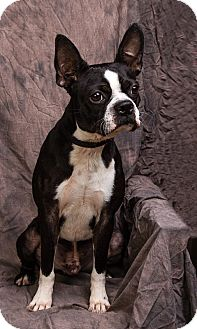 Boston Terrier Dog for adoption in Anna, Illinois - HARLEY