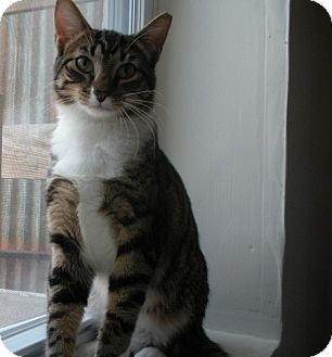 Domestic Shorthair Cat for adoption in Bayonne, New Jersey - Joey