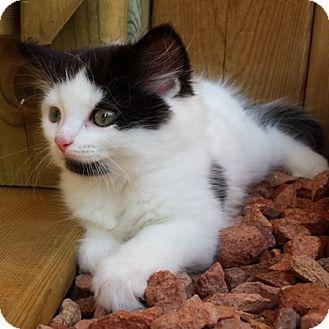 Domestic Shorthair Kitten for adoption in Toronto, Ontario - Lexi