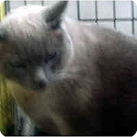 Adopt A Pet :: Blue - Jacksonville, FL