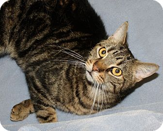 Domestic Shorthair Cat for adoption in Rochester, New York - Dominic