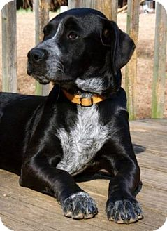 Labrador Retriever/Hound (Unknown Type) Mix Dog for adoption in Portland, Maine - Zelda