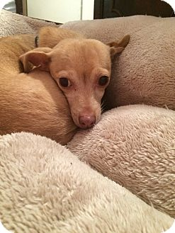 Miniature Pinscher/Chihuahua Mix Dog for adoption in Long Beach, New York - Tink