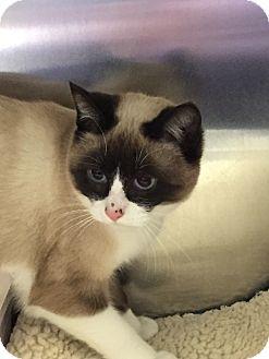 Snowshoe Kitten for adoption in Richfield, Ohio - Sami